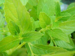 Mint from Herb Garden